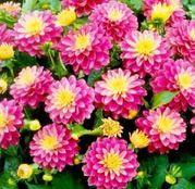 Bulbi de flori Dalia Gallery Rembrandt 1buc