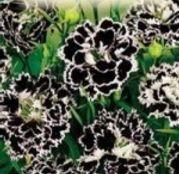 Seminte flori Garoafe chinezesti (Dianthus chinensis) black-white 0.05g