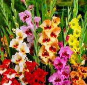 Bulbi de flori Gladiole Butterfly Mix 10 buc