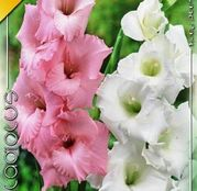 Bulbi de flori Gladiole Duo Pink & White 10buc