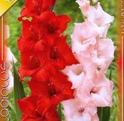 Bulbi de flori Gladiole Duo Red & Pink 10buc