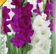 Bulbi de flori Gladiole Duo Purple & White 10buc