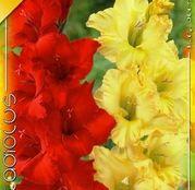 Bulbi de flori Gladiole Duo Red & Yellow 10buc