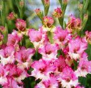 Bulbi de flori Gladiole Maggie 10 buc