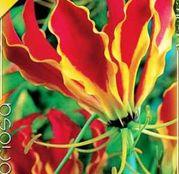 Bulbi de flori Gloriosa Rothschildiana 1buc