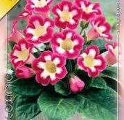 Bulbi de flori Gloxinia Blanche Mer 1 buc