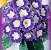 Bulbi de flori Gloxinia Hollywood 1 buc