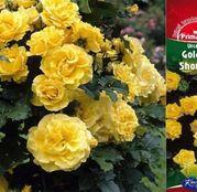Butasi de trandafiri Urcatori Galbeni Golden Showers