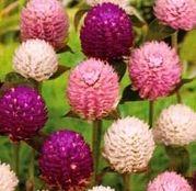 Seminte flori Gomfrena Mix (Gomphrena globosa) 0.2g