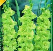 Bulbi de flori Gladiole Green Star 8 buc