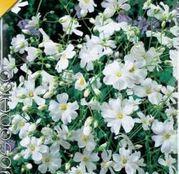Bulbi de flori Floarea Miresei- Gypsophila Paniculata 2buc