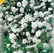Bulbi de flori Floarea Miresei- Gypsophila Bristol Fairy 1buc