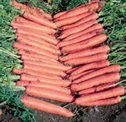 Seminte morcovi Niagara F1 25.000 seminte