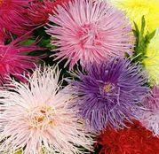 Seminte flori Ochiul Boului Harz mix (Callistephus chinensis) amestec de culori 0.5g