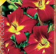 Bulbi de flori Hemerocallis Sammy Russel 1buc