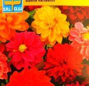 Seminte flori Dalia (Dahlia variabilis) Unwins semiduble mix de culori 0.5g