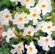 Bulbi de flori Incarvillea Delavayi white Snowtop 1buc