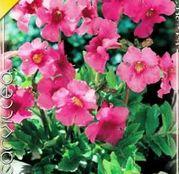 Bulbi de flori Incarvillea Delavayi Pink 1buc