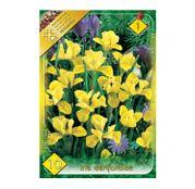 Bulbi de flori Iris Danfordiae 10buc