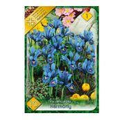 Bulbi de flori Iris Reticulata Harmony 10buc
