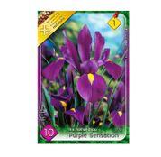 Bulbi de flori Iris hollandica Purple Sensation 10buc