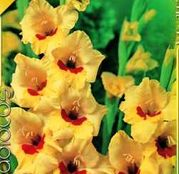 Bulbi de flori Gladiole Jester 10 buc