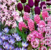 Bulbi de toamna Colectia Purple-Pink 50buc