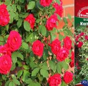 Butasi de trandafiri Urcatori Rosii Don Juan / Korum