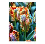 Bulbi de flori Lalele Blumex 5buc.