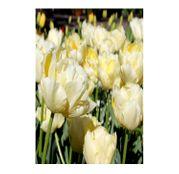 Bulbi de flori Lalele Verona 5buc.