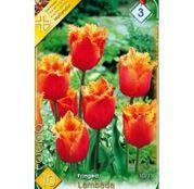 Bulbi de flori Lalea Fringed Lambada 10buc