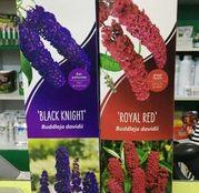 Liliac de vara diverse culori