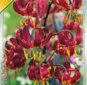 Bulbi de flori Crin Claude Shride 1buc