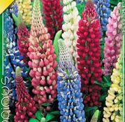Bulbi de flori Lupinus Mixed 3buc