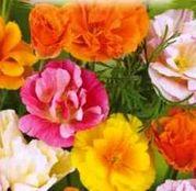 Seminte flori Mac Californian (Eschscholzia californica) 1g