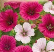 Seminte flori Nalba Malope mix (Malope trifida)