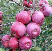 Pomi fructiferi Mar - Florina