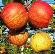 Pomi fructiferi Mar - Generos