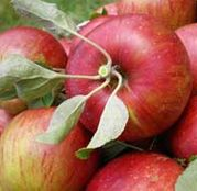 Pomi fructiferi Mar - Jonathan
