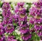 Seminte flori Menta Decorativa (Monarda citriodora) 0.2g