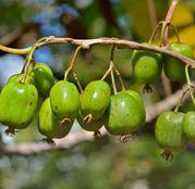 Arbusti fructiferi Mini Kiwi