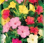 Bulbi de flori Mirabilis Jalapa Mixed 2buc