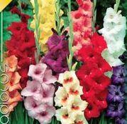 Bulbi de flori Gladiole Mixed 10 buc