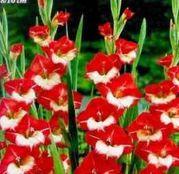 Bulbi de flori Gladiole Mademoiselle de Paris 10 buc