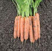 Seminte morcovi Baltimore F1 25.000 seminte