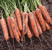 Seminte morcovi Natuna F1 25.000 seminte
