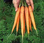 Seminte morcovi Newhall F1 25000 sem