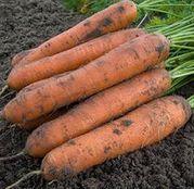 Seminte morcovi Nominator F1 25.000 seminte