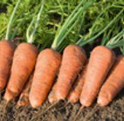 Seminte morcovi Cupar F1 25.000 seminte