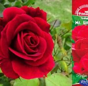 Butasi de trandafiri Teahibrid Mr. Lincoln